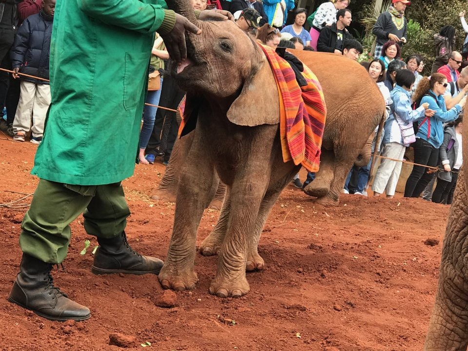 parchi Nairobi wildlife trust elefante nutrito