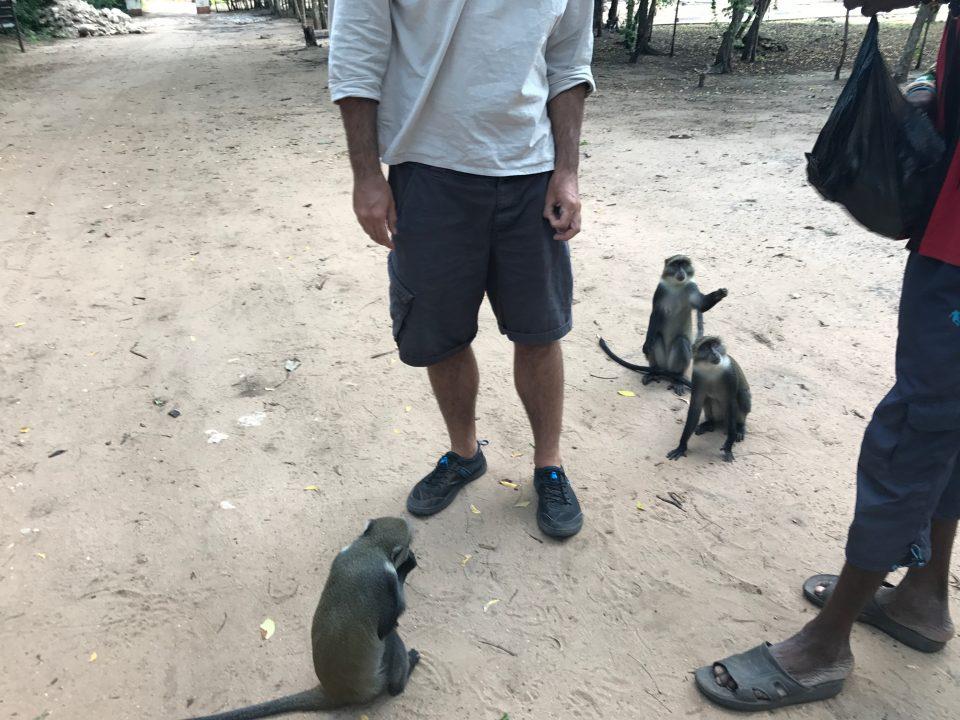 scimmie nelle rovine di gede